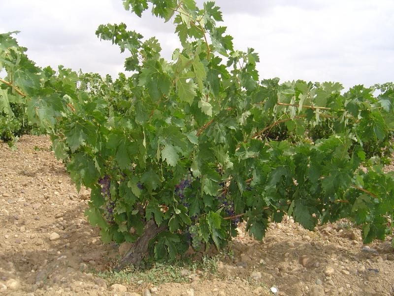 denominación de origen vinos toro vino tinto bodegas zamora